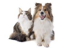 Кот собаки Shetland и енота Мейна Стоковые Изображения