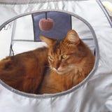 кот сомалийский Стоковая Фотография