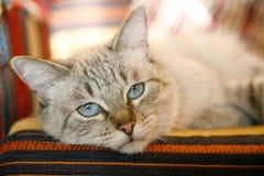 кот сонный Стоковое Изображение