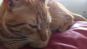 Кот сонный Стоковое Изображение RF