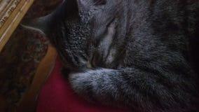 Кот, сон, животные, влюбленность, серый кот Стоковые Фотографии RF
