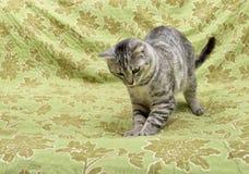 Кот спать в естественной домашней предпосылке, ленивом конце стороны кота вверх, малый сонный ленивый кот, домашнее животное, кот Стоковая Фотография