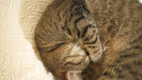 Кот спать на софе сток-видео