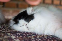 Кот спать персидский Стоковое фото RF