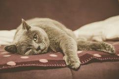 Кот спит на кровати голубой великобританский кот Стоковое фото RF