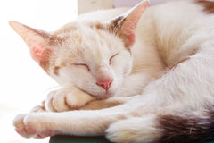 Кот спит Портрет кота спать largly Отдыхать кота Серый цвет кота Стоковое Фото