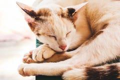 Кот спит Портрет кота спать largly Отдыхать кота Серый цвет кота Стоковая Фотография RF