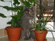 Кот среди цветков на windowsill Стоковые Изображения
