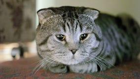 Кот створки Scottish болен акции видеоматериалы