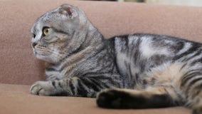 Кот створки Scottish лежит и не делает ничего акции видеоматериалы