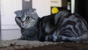 Кот створки Scottish лежит и не делает ничего видеоматериал