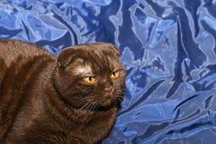Кот створки Scottish с желтыми глазами Стоковое Фото