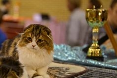 Кот створки Scottish с призовой чашкой Стоковая Фотография