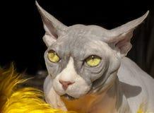 Кот сфинкса ¡ Ð anadian Стоковая Фотография RF