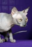 Кот сфинкса Стоковая Фотография RF
