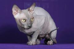 Кот сфинкса Стоковое Фото