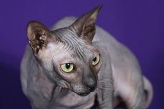 Кот сфинкса Стоковые Фото