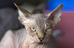 Кот сфинкса Стоковые Фотографии RF