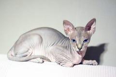 Кот сфинкса стоковое фото rf
