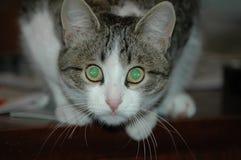 Кот с волшебными изумрудными глазами Стоковое Изображение RF