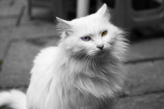 Кот с глазами другого цвета Стоковая Фотография RF