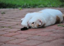 Кот с его справедливой catched мышью стоковое фото