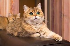 Кот с зелеными глазами, прелестный великобританский кот золота с глубокими богатыми зелеными глазами стоковые фото