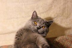 Кот с красивыми глазами на софе стоковое изображение