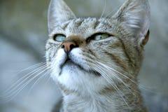 Кот с красивыми глазами Стоковая Фотография RF