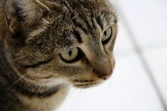 Кот с красить тигра и зеленые глазами стоковое изображение