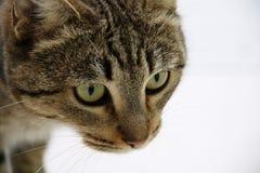 Кот с красить тигра и зеленые глазами стоковая фотография rf