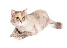 Кот с класть отрезанный тигром Стоковая Фотография
