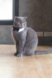 Кот с милой бабочкой или воротником Стоковые Изображения RF