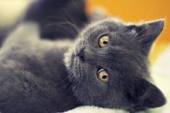 Кот с померанцовыми глазами Стоковое Изображение RF