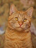 Кот с померанцовыми глазами Стоковая Фотография RF