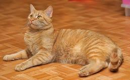 Кот с померанцовыми глазами Стоковые Изображения