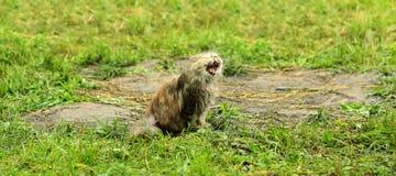 Кот с ртом широким раскрывает на траве Стоковые Изображения RF
