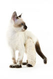 Кот с сломанной ногой на белой предпосылке стоковые изображения rf