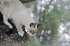 Кот Таиланда взбираясь на деревьях Стоковые Изображения