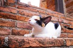 кот тайский Стоковая Фотография