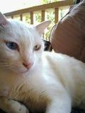 кот тайский Стоковые Изображения