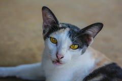 кот тайский Стоковые Фотографии RF