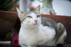 кот тайский Стоковое Изображение