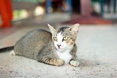 кот тайский Стоковые Изображения RF