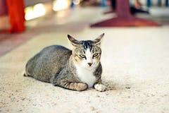 кот тайский стоковое изображение rf