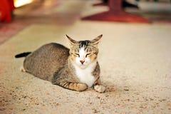 кот тайский стоковая фотография rf