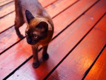 Кот темного коричневого цвета сиамский стоя на красном деревянном плиточном поле Стоковые Изображения RF