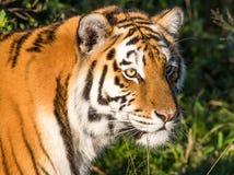 Кот тигра одичалый Стоковая Фотография