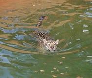 Кот тигра ягуара отдыхая и плавая Стоковые Изображения RF