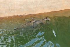 Кот тигра ягуара отдыхая и плавая Стоковое Изображение RF